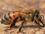 Пчела от артрита